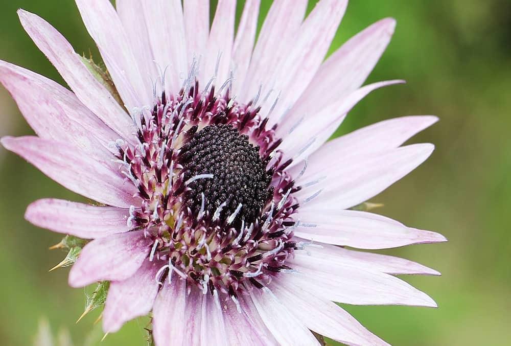 Berkheya purpurowa