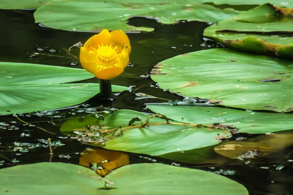 Grążel żółty
