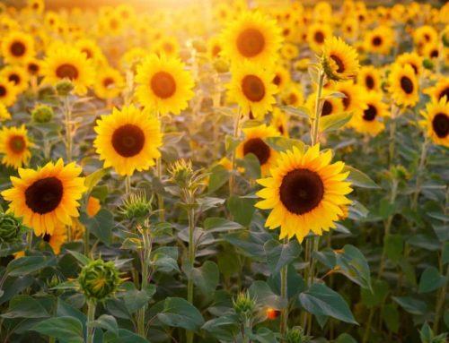 Właściwości oczyszczające roślin – oczyszczanie gleby