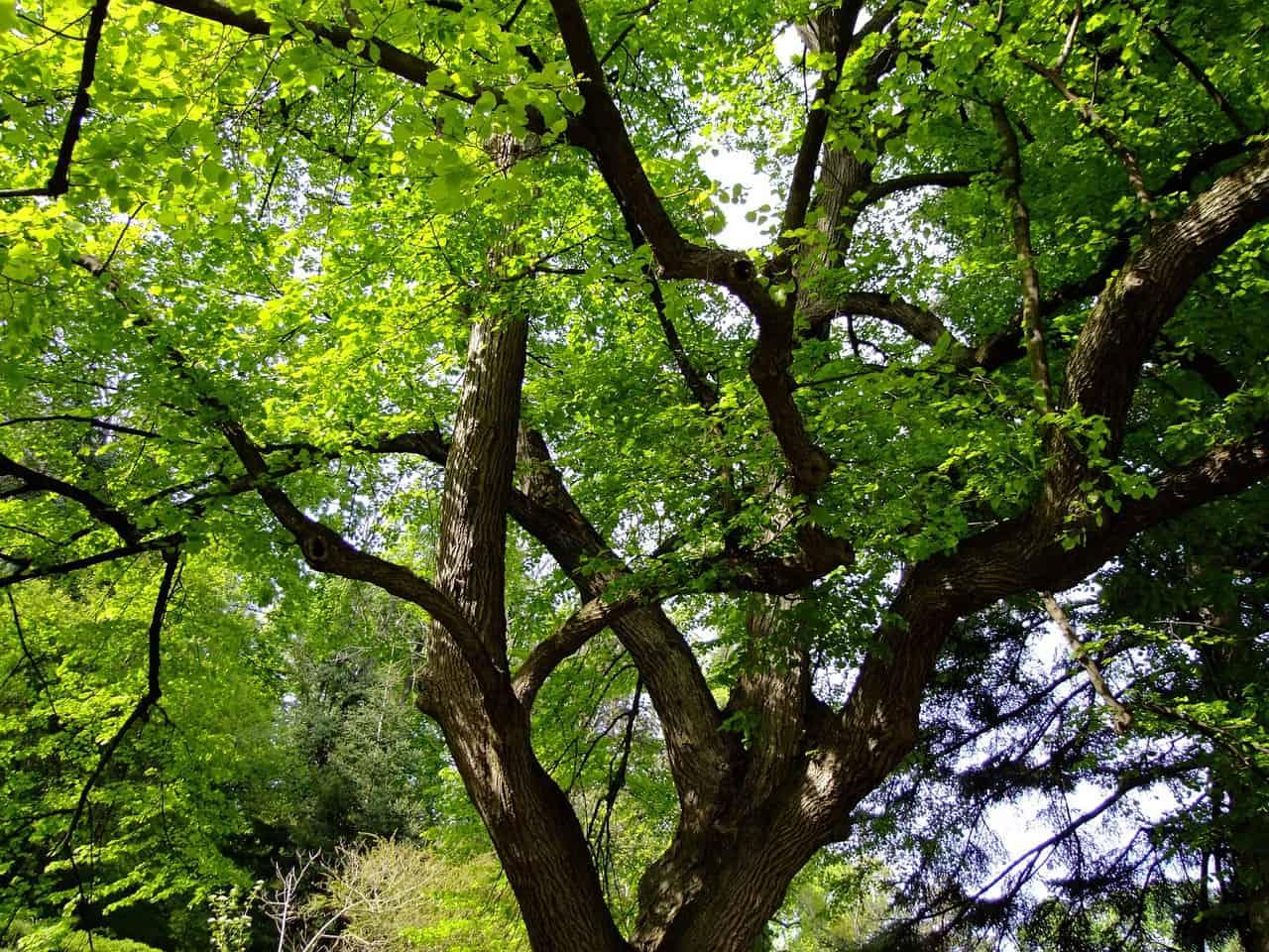 Drzewa są płucami miasta